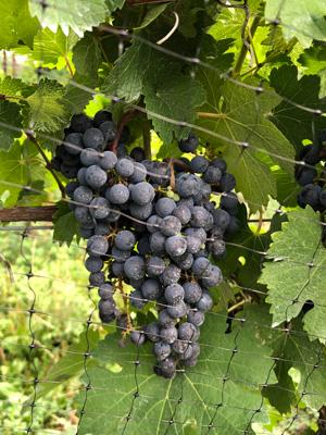 Red grapes growing on a vine