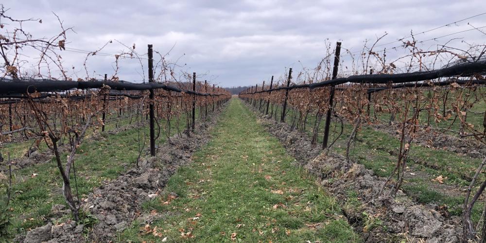 Vineyard November